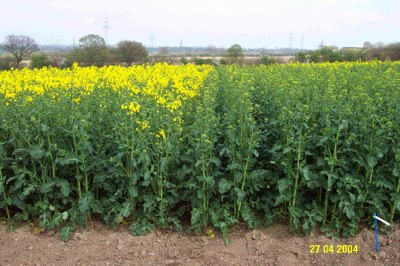 Jung Rapeseed_new